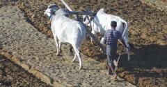 Middle-aged burmese farmer plows farm land using cows power Stock Footage