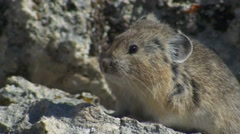Alpine Pika Shaking at Yellowstone National Park Stock Footage