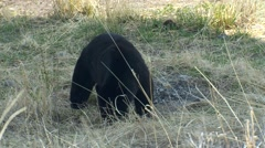 Black Bear Feeding on Grass at Yellowstone National Park Stock Footage