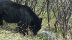 Black Bear Feeding on Green Grass in Spring at Yellowstone Stock Footage