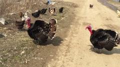 Big black turkey feathers fluffed their Stock Footage