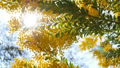 Spring yellow acacia tree in the park. Barcelona, Spain Stock Footage