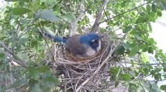 Scrub Jay female calls and leaves nest V17379 Stock Footage