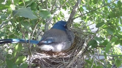 Scrub Jay female stands and leaves nest V17414 Stock Footage