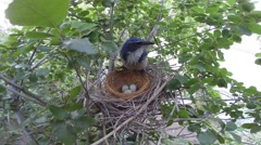 Scrub Jay female stands on nest then sits V17421 - stock footage