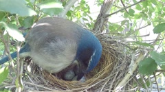 Scrub Jay female cleans nest and adjusts eggs V17411 Stock Footage