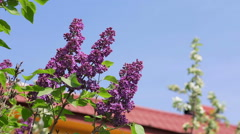 Lilac flowers, blue sky and red roof in background. Stock Footage