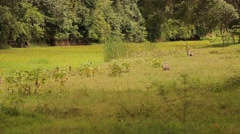 Monkeys walking and jumping in the grass in Sri Lanka Stock Footage