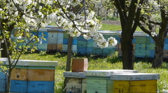 Beehives in the blooming cherry orchard Stock Footage