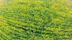 WS AERIAL Shot of amazing rape flower field in rural area Stock Footage