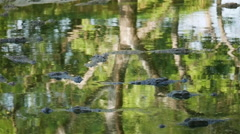 Submerged alligators lurking in a still pool Stock Footage