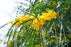 Yellow flowers of mimosa (acacia) tree close up Stock Photos