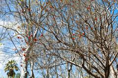 Bare acacia tree with red blossom in spring day Stock Photos