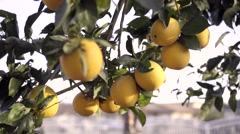Beautiful day with oranges on tree Stock Footage