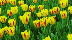 Tulip Flowers in Spring Time Stock Footage