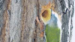 The Male Green Woodpecker Making a Hole in a Oak Stock Footage