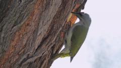 Male Green Woodpecker - stock footage