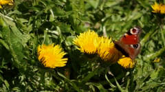 Peacock butterfly fly into dandelions - genus Inachi Stock Footage