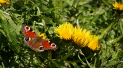 Beautiful Peacock butterfly picking nectar from dandelions - genus Inachi Stock Footage