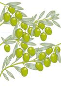 Olives on the tree  - stock illustration
