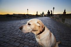 Labrador retriever on the Charles Bridge in Prague at the sunrise. - stock photo