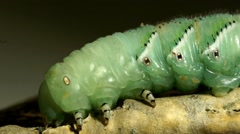 Caterpillar Sphingidae  ultra close-up Stock Footage
