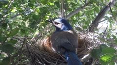 Scrub Jay male returns all feed  V17585 Stock Footage