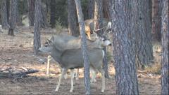 Winner Buck Makes Losing Buck Concerned--Panning Stock Footage