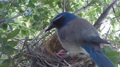 Scrub Jay male returns lots of feeding V17595 - stock footage