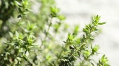 Thyme, spice and medicinal plant Stock Footage