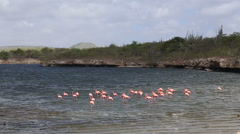 Rose flamingo caribbean lake Stock Footage