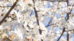 Blooming blossoming spring Sakura tree rural white flowers in the country Stock Footage