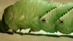 Caterpillar Sphingidae Stock Footage