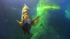 Fish swimming in freshwater  lake Stock Footage