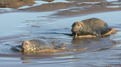 Grey Seals Arkistovideo