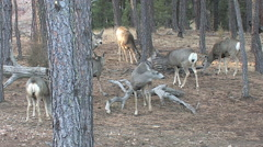 Buck Searching for a Hot Doe in a Herd of Does Stock Footage