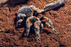Mexican red knee tarantula - stock photo
