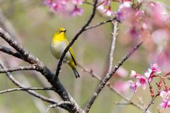 Oriental White-eye bird Stock Photos