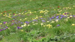 Blooming tulips and irises in the steppe, Rostov region, Russia, Full HD Stock Footage