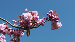 Pink cherry blossom, 4k, UHD Stock Footage