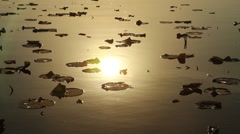Lilly Pad sun reflection Stock Footage