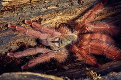 tarantula Tapinauchenius gigas - stock photo