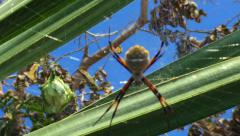 Poisonous Colorful Spider in South America, Close Up Stock Footage