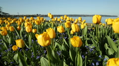 Yellow Spring Tulips, English Bay, Vancouver Stock Footage