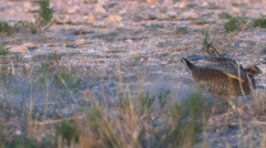 Prairie chicken 5 Stock Footage
