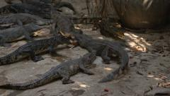 Crocodiles tear the chicken into pieces, fighting over prey Stock Footage