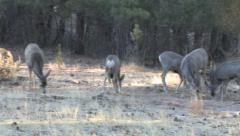 Pan Left on Mule Deer Does, Fawns Feeding in a Clearing. Stock Footage
