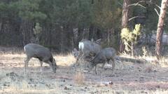 Minor Disputes Among Feeding Mule Deer Does, Fawns Stock Footage