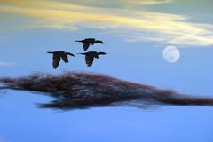 Birds Flying Couds and Moon Sunset Kuvituskuvat