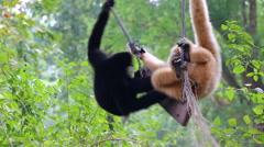 Gibbon (Hylobates lar) Playing On Wood Swing Stock Footage